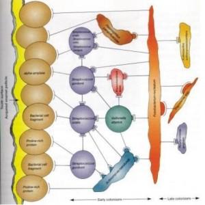 placa bacteriana1mod