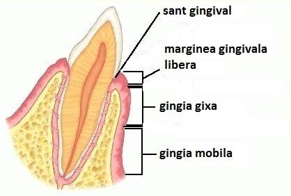Noţiuni de anatomie gingivo-parodontală